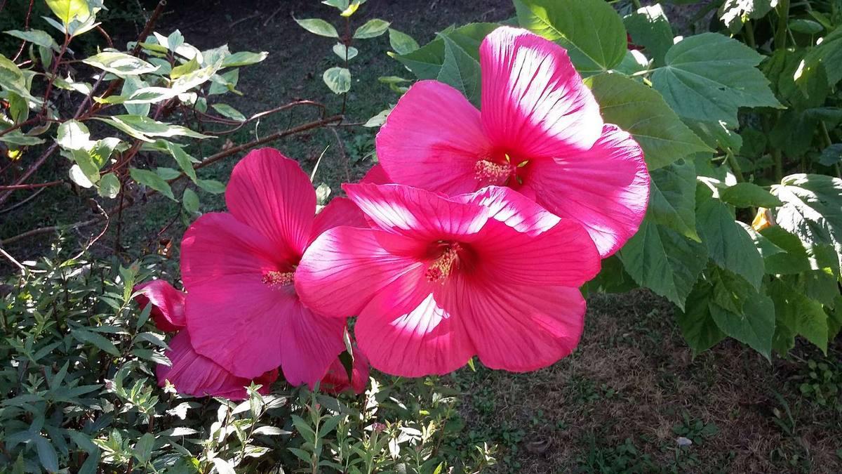 Hibiscus rouge du jardin