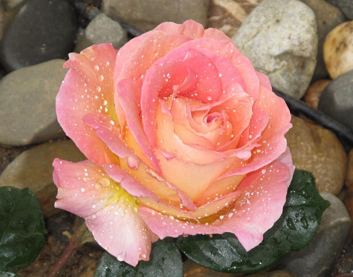 Rosée de rose